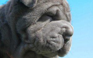 Знакомьтесь: мастиф неаполитано, флегматичный великан собачьего мира