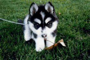 Как назвать собаку породы хаски: советы по выбору клички