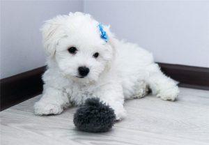 Собачка с завитушками бишон фризе: описание породы, преимущества и недостатки