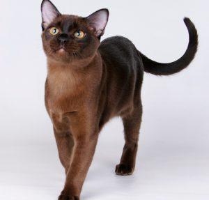 Разнообразие редких и стандартных окрасов бурманской кошки
