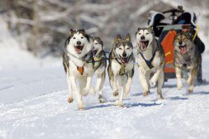 хаски бегут по снегу