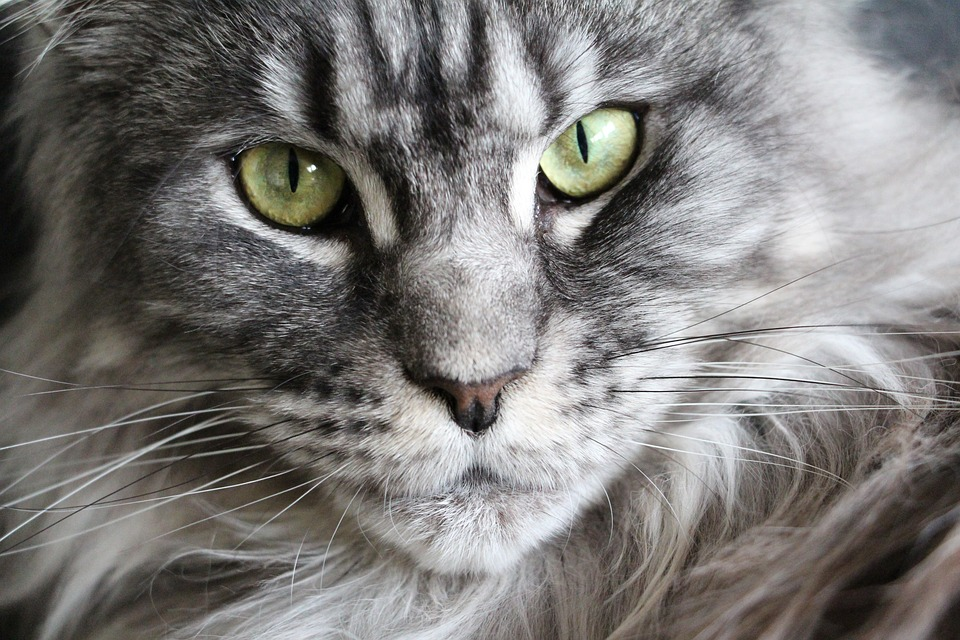 Cat Maine Coon Main Coon Cat Face Maine Coon Cat