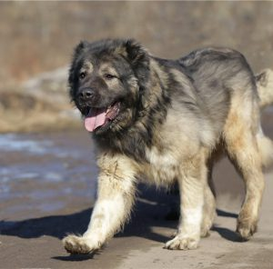 Лохматый и преданный друг человека Кавказская овчарка: характеристика и вес породы собак