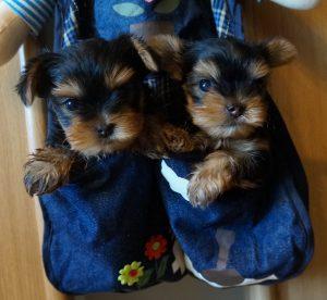 Как оригинально назвать собаку породы Йоркширский терьер: клички для девочек и мальчиков