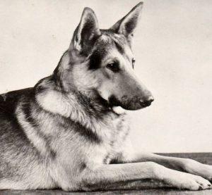 Преданный и умный друг человека Немецкая овчарка: уход и содержание щенка
