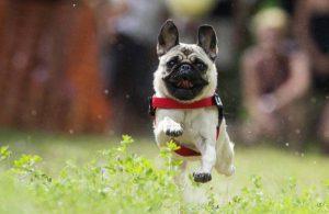 Выбираем кличку для щенка мопса по внешнему виду и характеру