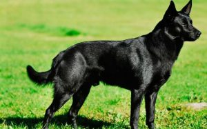 Пастушья собака австралийская келпи: интересный питомец с развитым интеллектом