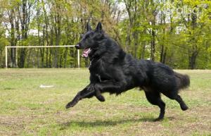 Сочетание ума и качеств охранника: собака из семейства овчарок грюнендаль