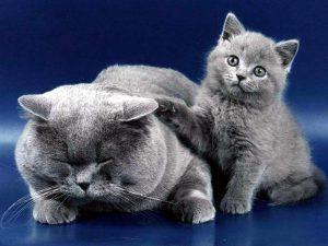 Характер британских кошек, рекомендации по уходу и содержанию