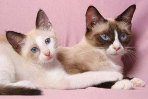 Короткошерстные красавцы сноу шу: отличительные черты породы домашних питомцев