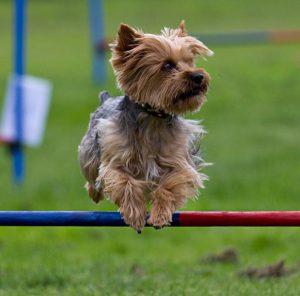 Самая маленькая и пушистая собака Йоркширский терьер: плюсы и минусы породы