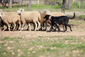 майоркская овчарка и стадо