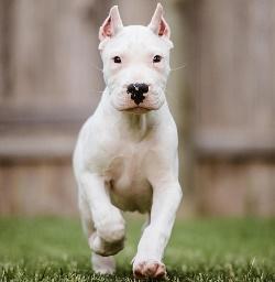 argentinskiy_dog