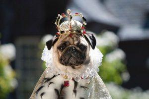мопс король