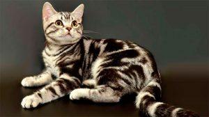 Отличительные особенности американской короткошерстной кошки