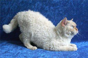 Кучерявые кошки немецкий рекс: как найти с ними общий язык
