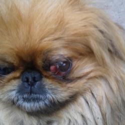 Почему выпадают глаза у Ши-тсу