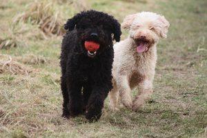 Собака с повышенной выносливостью и выдержкой: испанская водяная