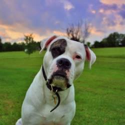 Разновидность породы собак бульдог