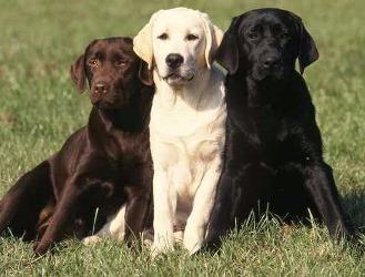 Labrador-Retr