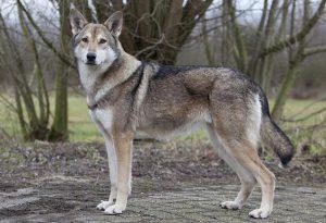 Лайка, скрещенная с волком: существует ли такая порода как отдельная?