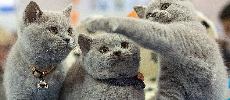 Милые, хорошие и заботливые Британские коты: характеристика породы, сколько стоит