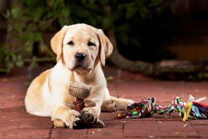 Рекомендации по выбору щенка лабрадора и его стоимость