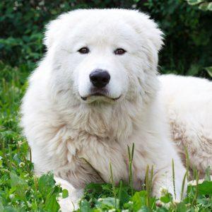 Одна из самых старинных пород собак Итальянская овчарка (Мареммма): описание и характер любимца