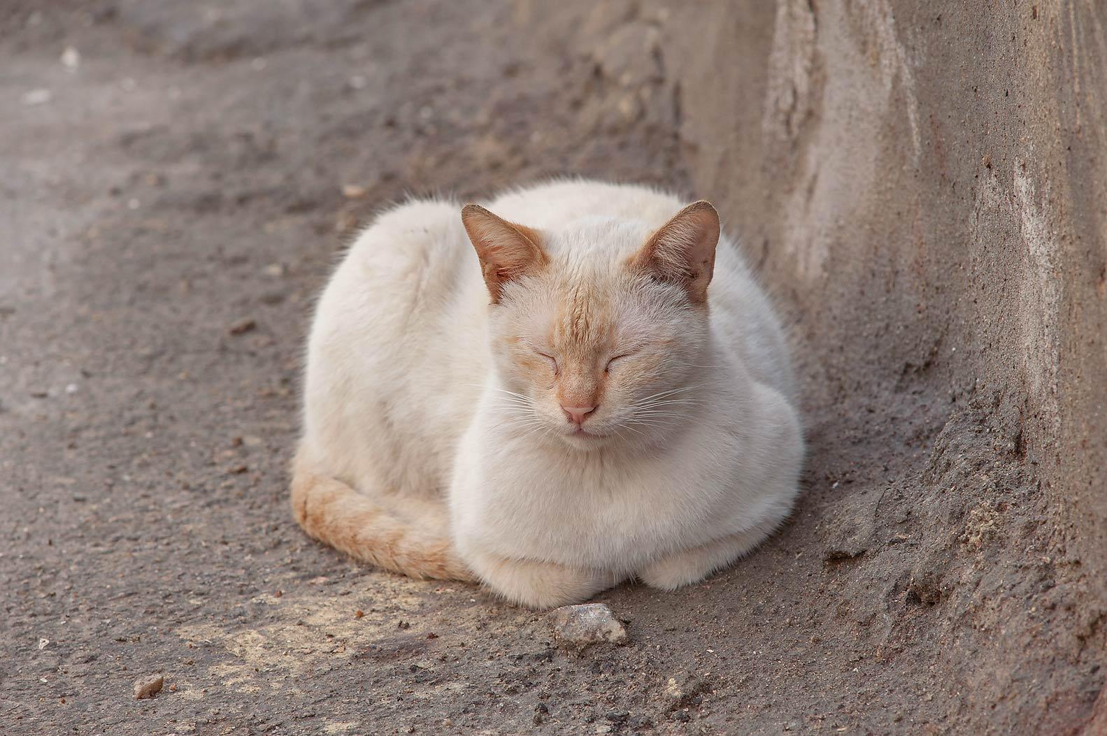 Какой цвет глаз у сиамской кошки