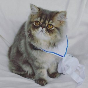 Упрямые и добродушные иследователи Персидские кошки: сколько живут в домашних условиях?
