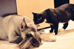 миттельшнауцер и кот