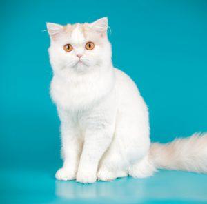 Самая популярная в Британии порода кошек Шотландская прямоухая (Скоттиш Страйт): описание и характер