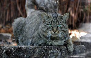 Рекомендации по содержанию в домашних условиях европейской лесной кошки