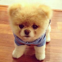 Характер собаки померанского шпица