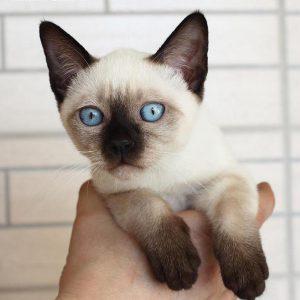 Какой цвет глаз у сиамской кошки thumbnail