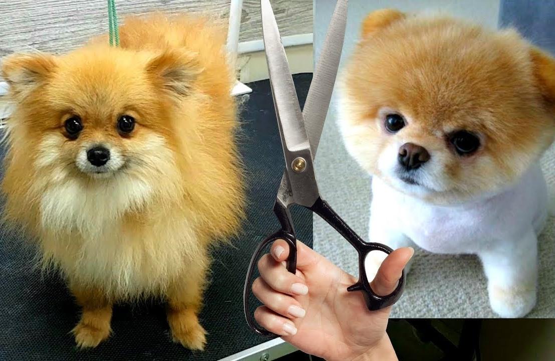 Хитрости и секреты по уходу за Шпицем: как подстричь собачку в домашних условиях?