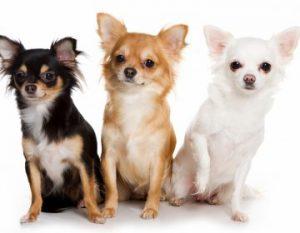 Все о породе маленьких собачек чихуахуа: достоинства и недостатки