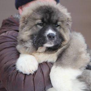 Как продлить жизнь своему любимцу Кавказская овчарка: сколько живут собаки, советы по содержанию