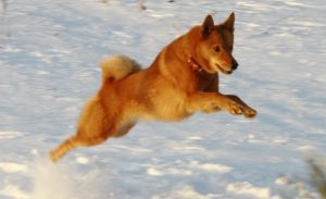 карело-финская лайка бежит