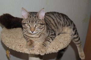 Европейские короткошерстные кошки: советы по уходу за классическим питомцем