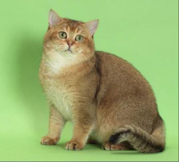 Разнообразие окрасов табби у кошек шотландской и других пород: как не ошибиться с выбором?