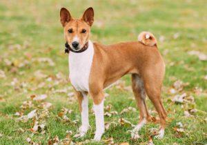 Африканская собака басенджи, которая не лает: особенности характера питомца