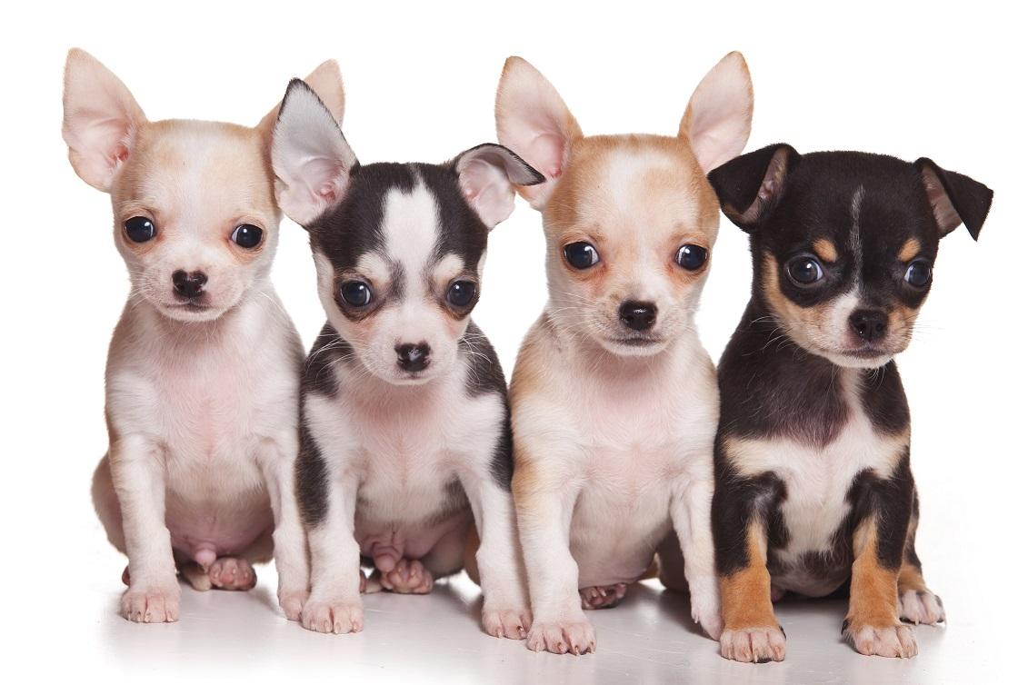 Элегантная и своевольная собачка Той терьер: характеристика породы и вес щенка