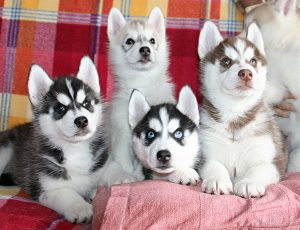 Распространенные и редкие окрасы собаки хаски
