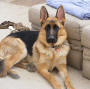 Все о породе собак Немецкая овчарка: когда у нее встают уши и во сколько месяцев их поставить?