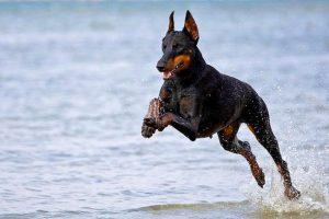 доберман бежит по воде