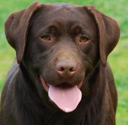 Labrador-shok