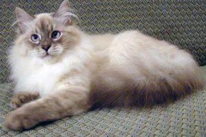Коты породы невская маскарадная: отличительные черты характера