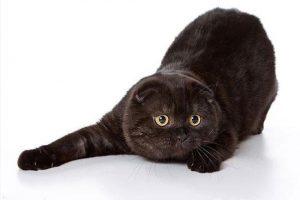 Рекомендации по уходу за черным вислоухим британским котом, история происхождения