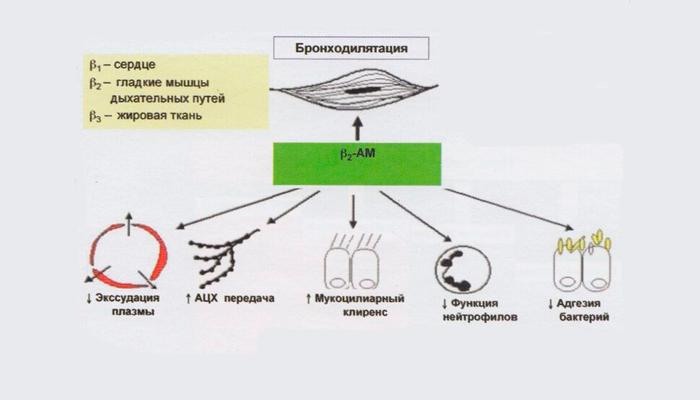 Принцип действия Бета-2-андрометиков